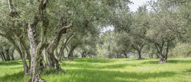 Olive oil in Istria